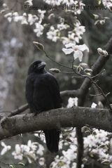 large_billed_crow_400