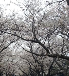 sakura-fest1.jpg