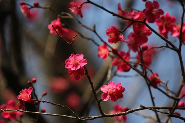 ume_blossom-hanegi_park-2014_2_26-16