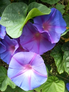 Morning Glory Love